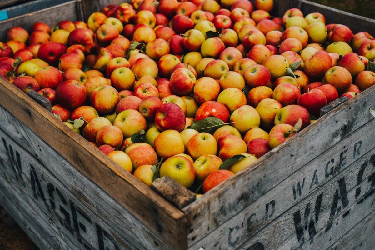 Apple Picking at Apple Barrel Orchards