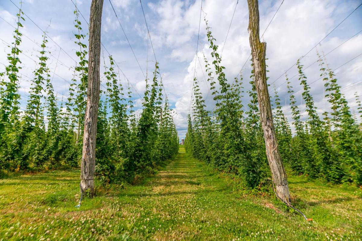Hops growing at Climbing Bines brewery in Finger Lakes Wine Country