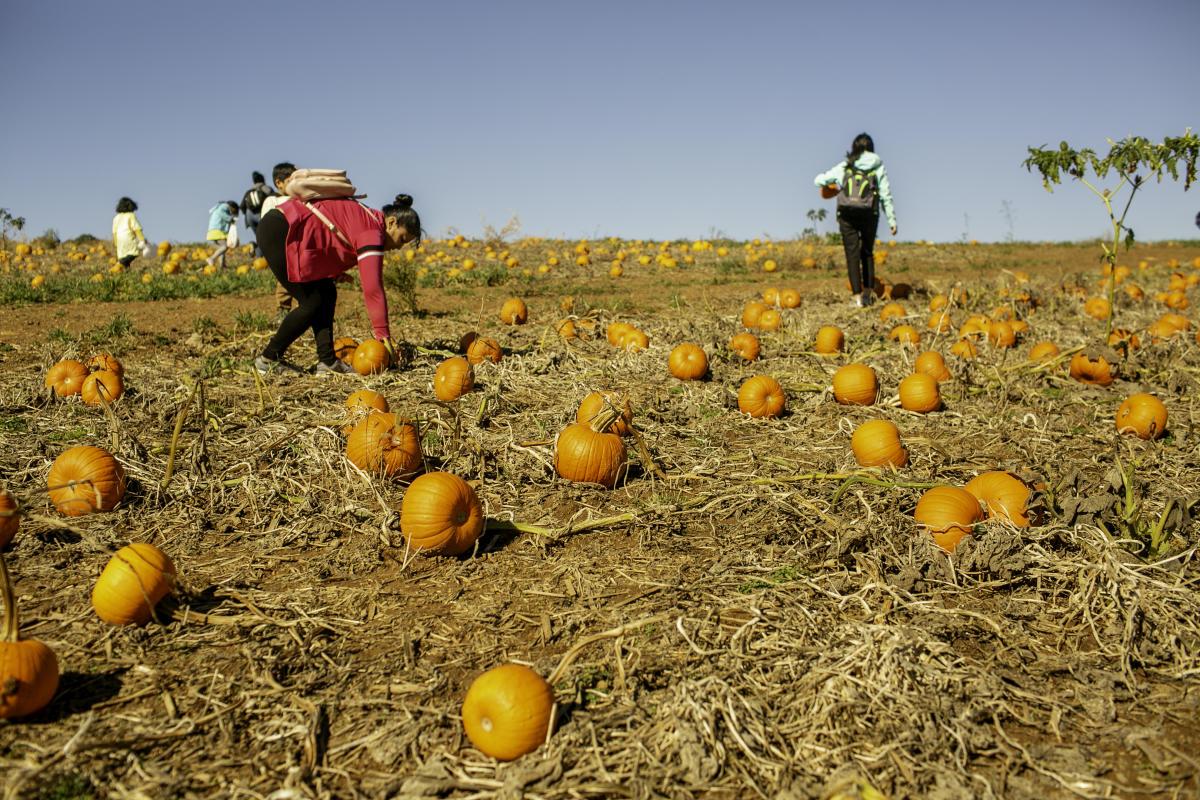 pumpkin patch at Sharps