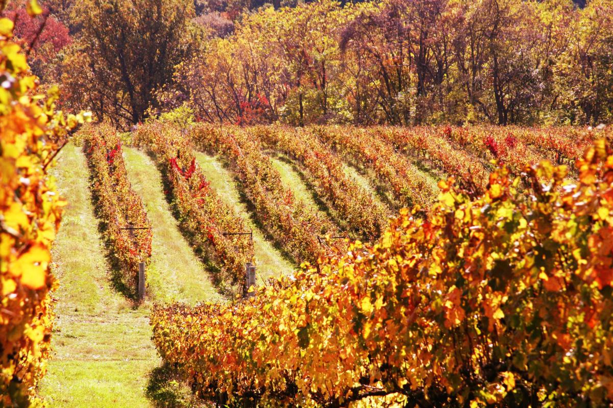 Autumn colors at a Breaux Vineyard in Loudoun County