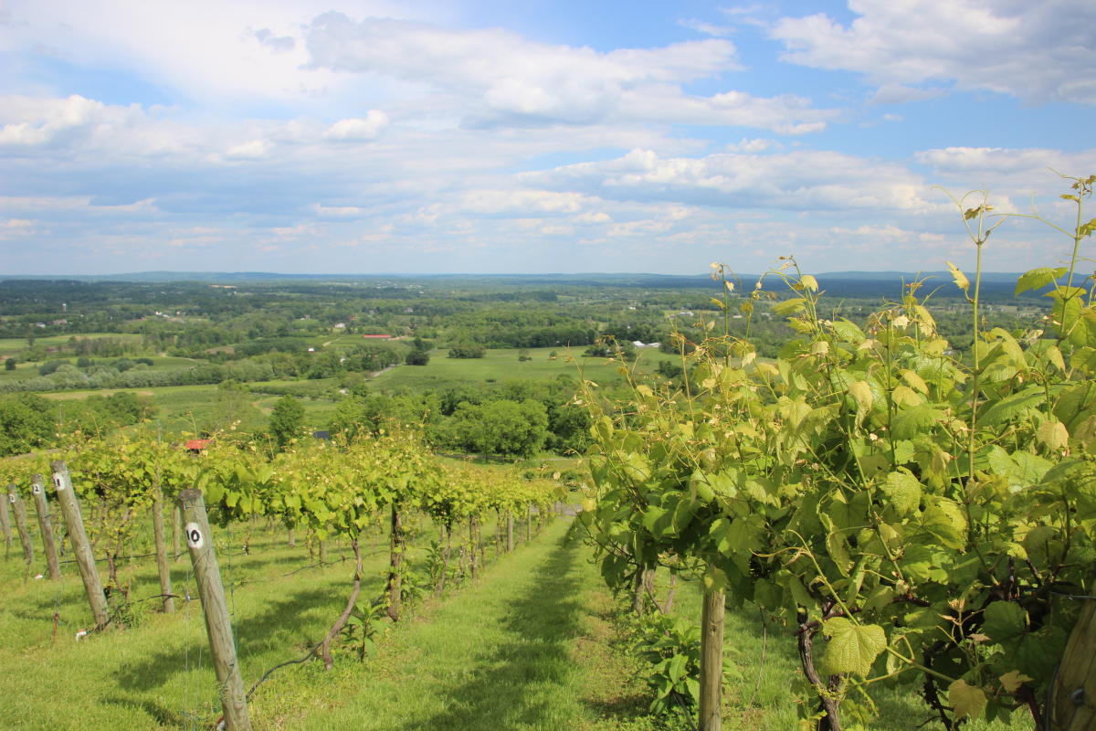 Sweeping view of the vines and mountains from Bluemont Vineyard