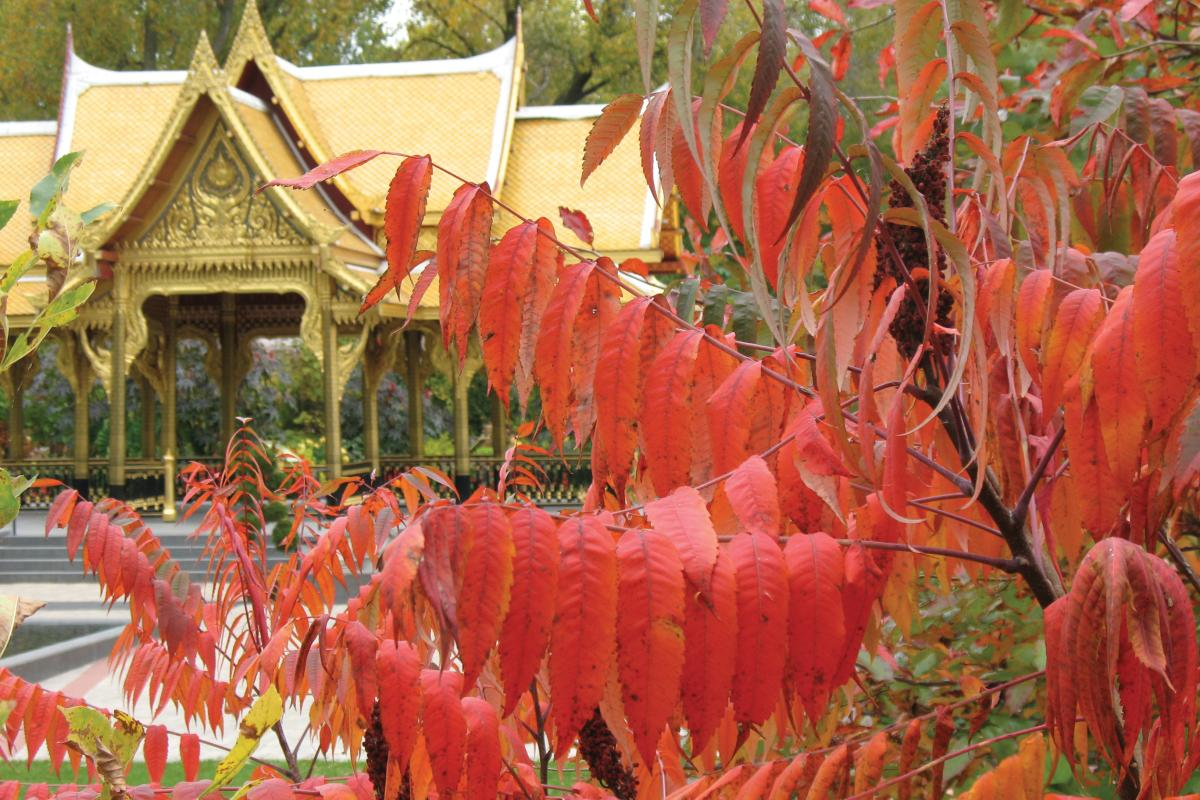 Fall leaves on a tree with the Thai Pavilion in the background