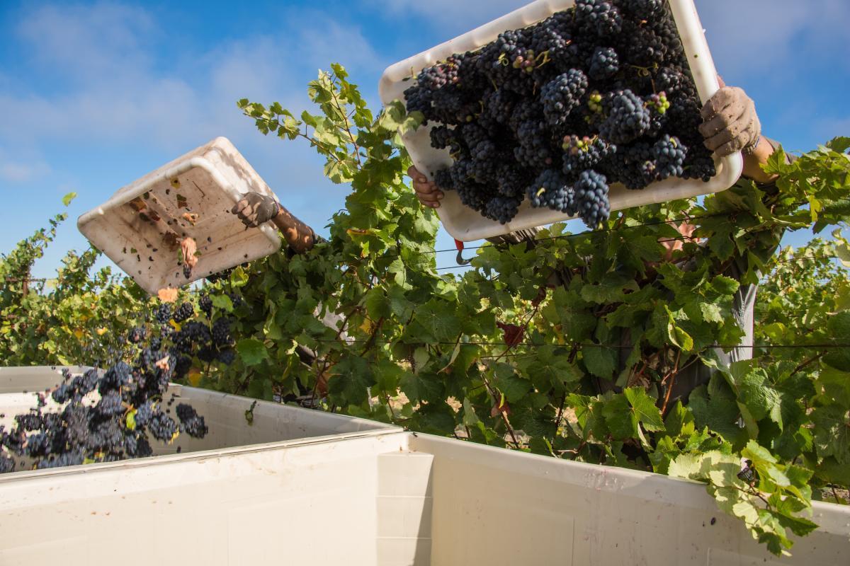 Harvesting grapes in Napa Valley vineyard