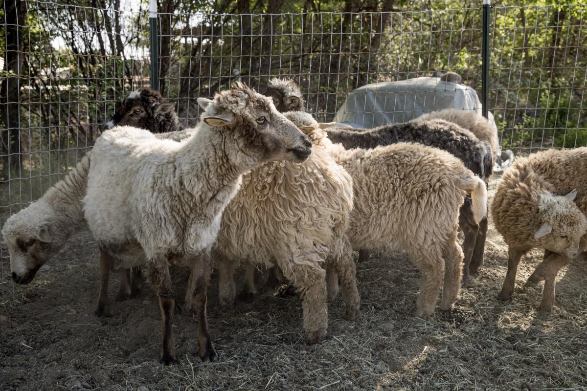 Churro sheep—the source of his wool