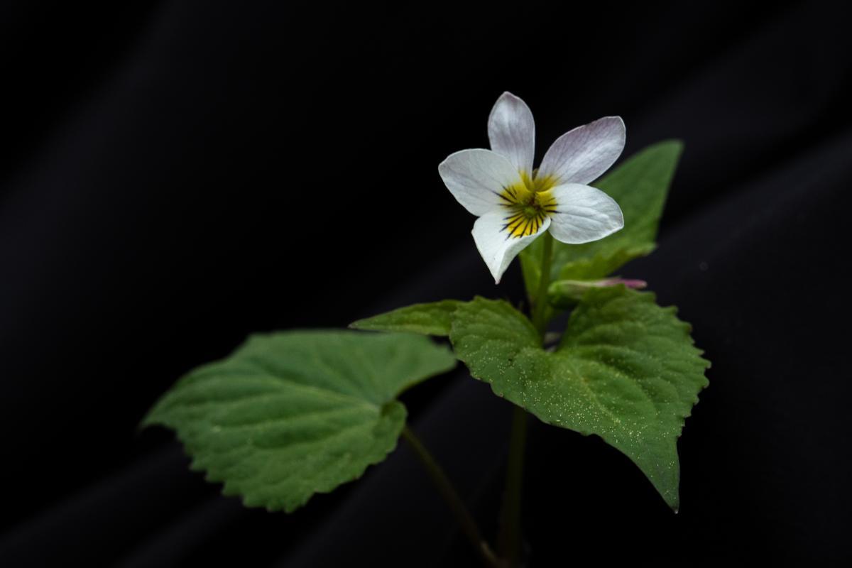 Canadian white violet