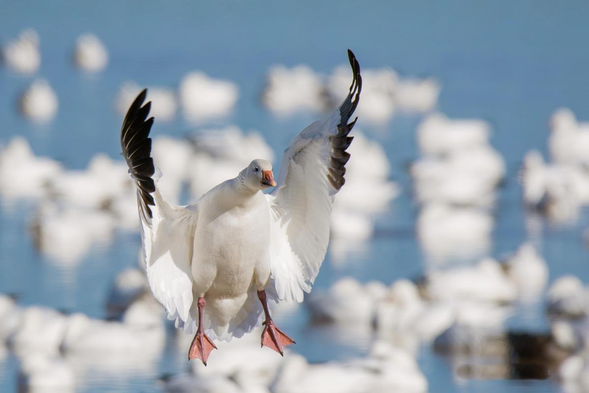 Snow Goose flying