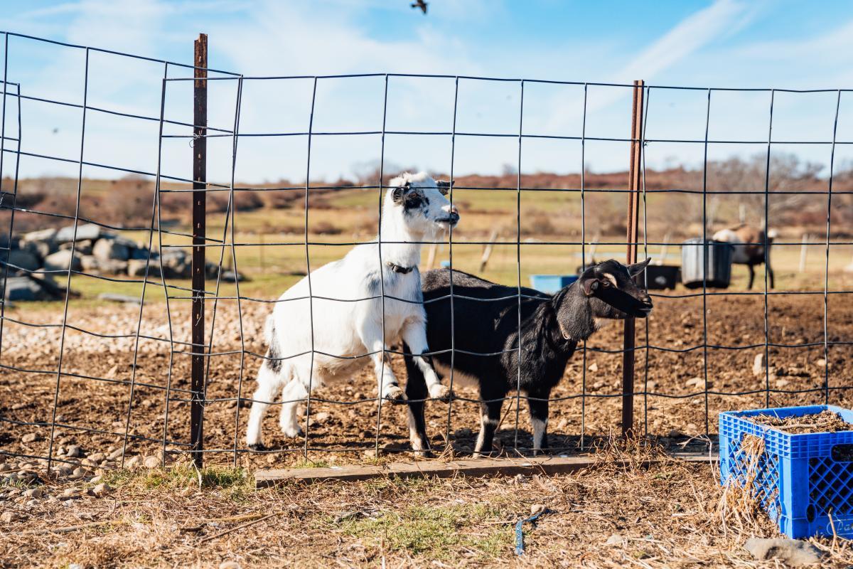 Simmons Farm Goat Hike