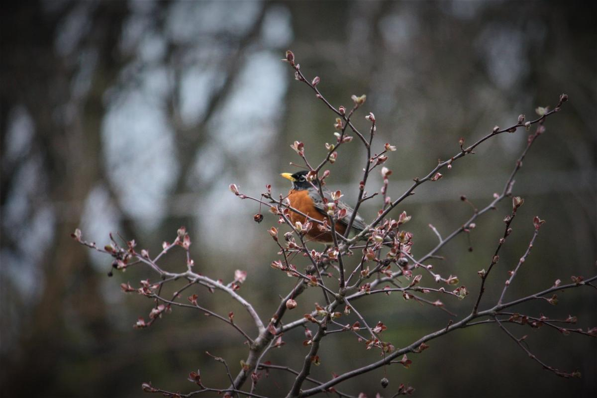 Robin Bird In Tree
