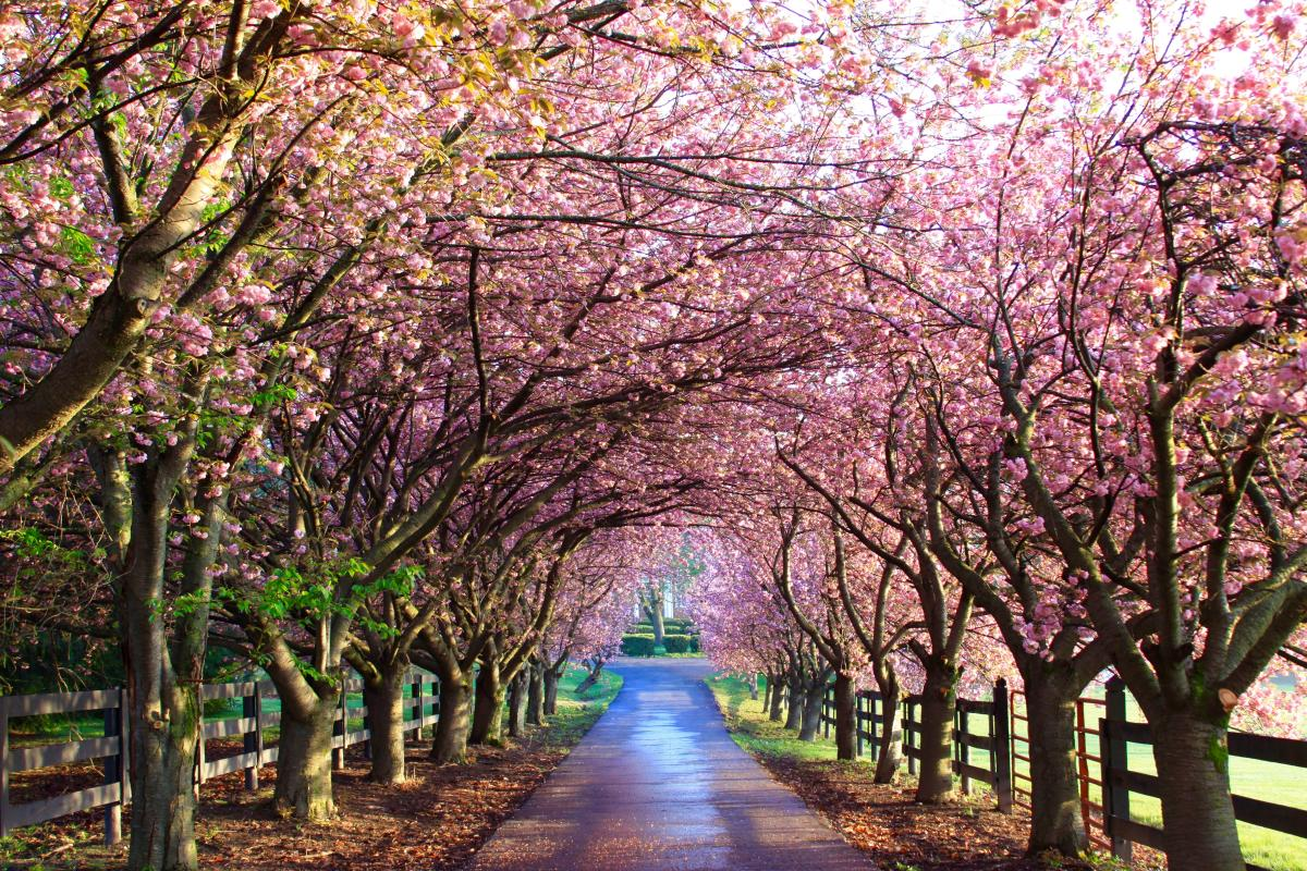 blossoms along the road at Wheatland Spring Farm & Brewery