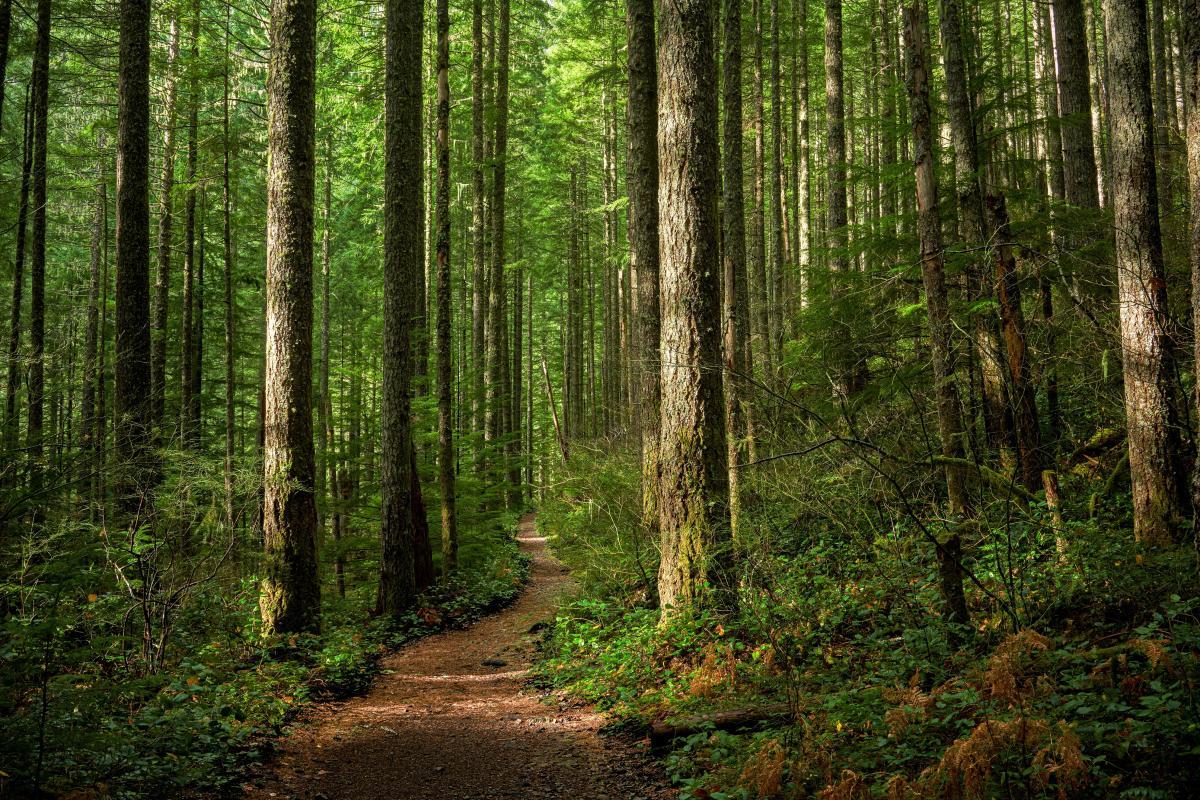 dirt trail through a pine forest