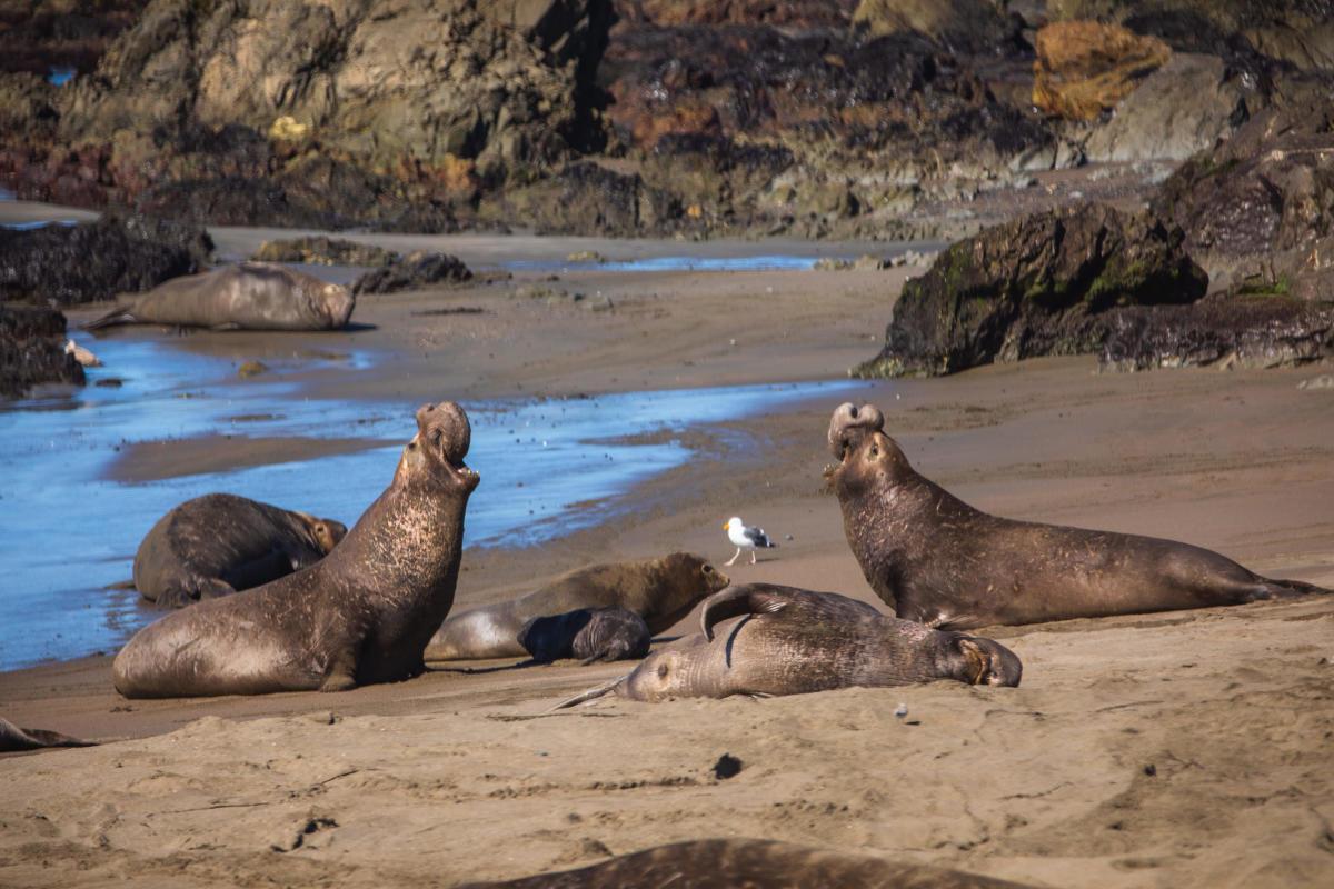 elephant seals HWY 1