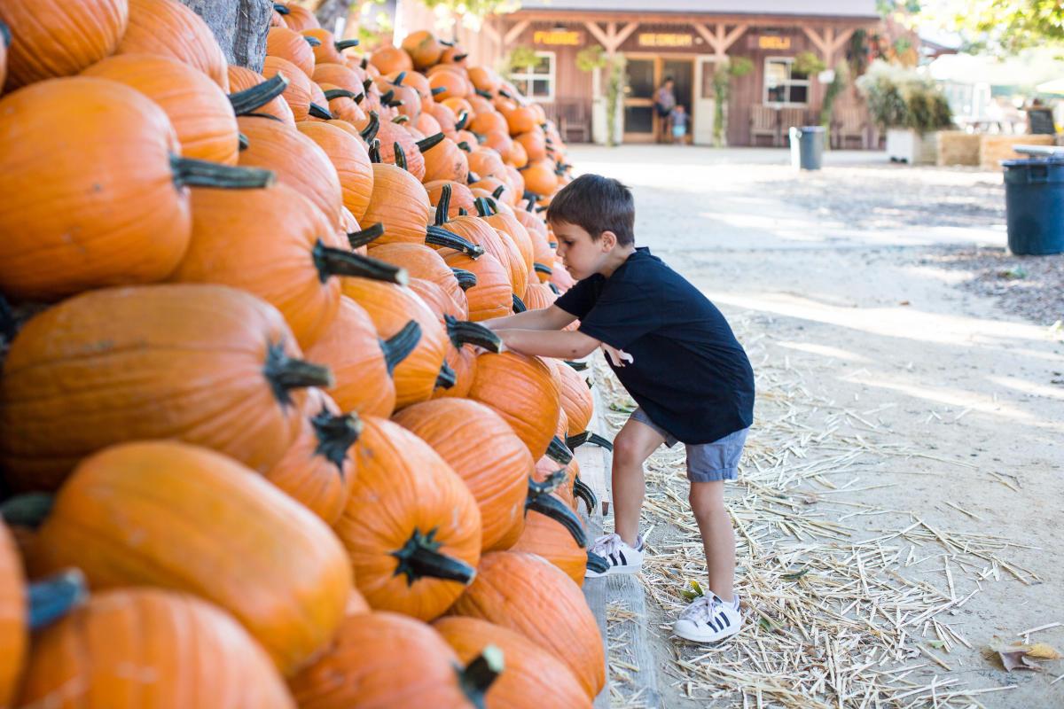 Picking pumpkins at Avila Valley Barn in SLO CAL