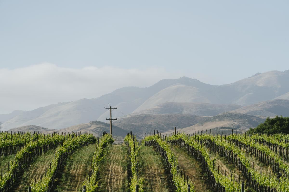 Vineyards at a SLO CAL Winery