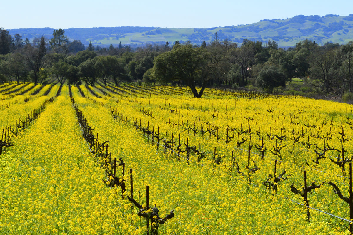 Yellow mustard fields among dormant vines under a blue sky at Bartholomew Estate Winery in Sonoma California