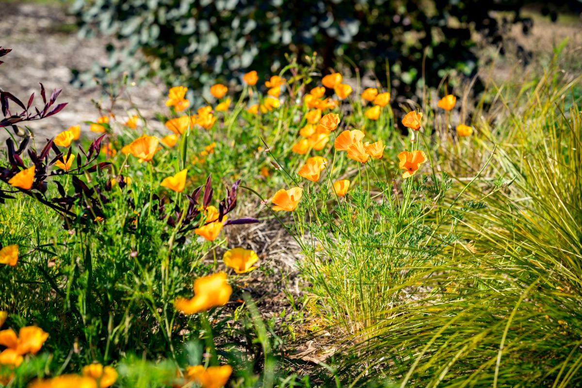 Shipley Nature Center. Image of Golden Poppies