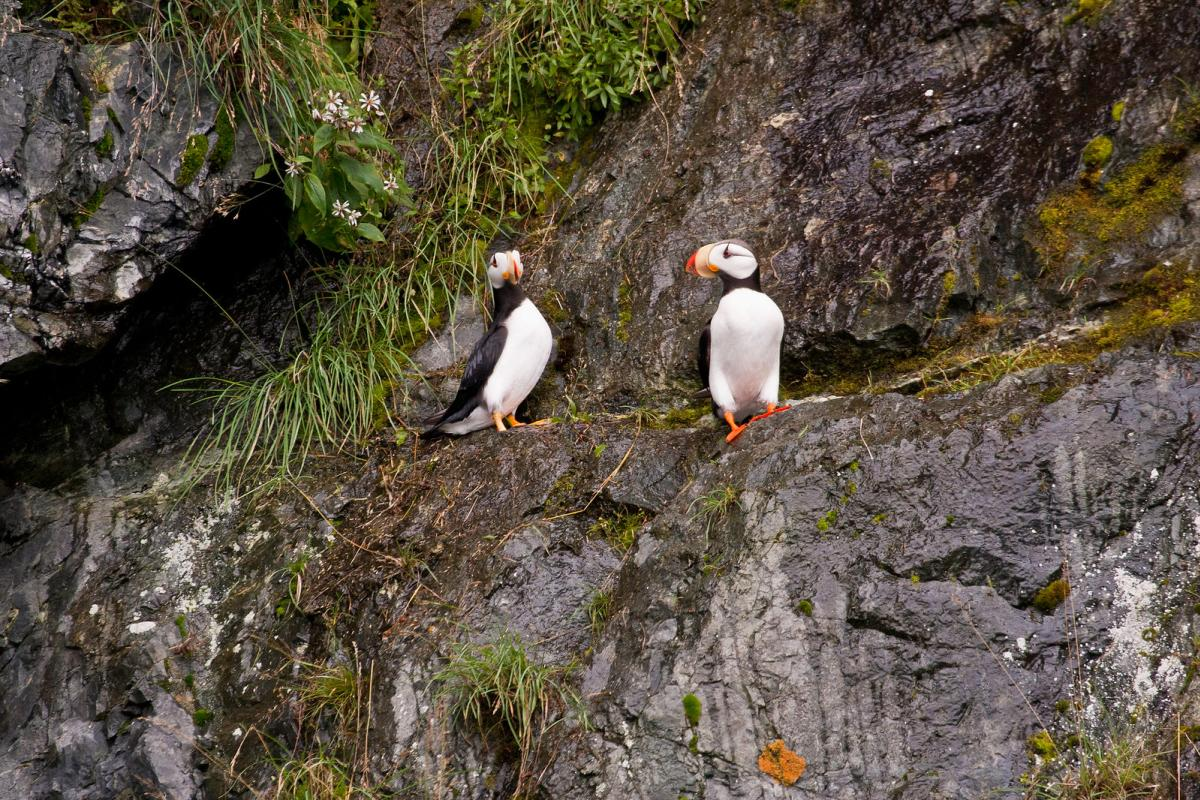 Two horned puffins on a rockface in Prince William Sound