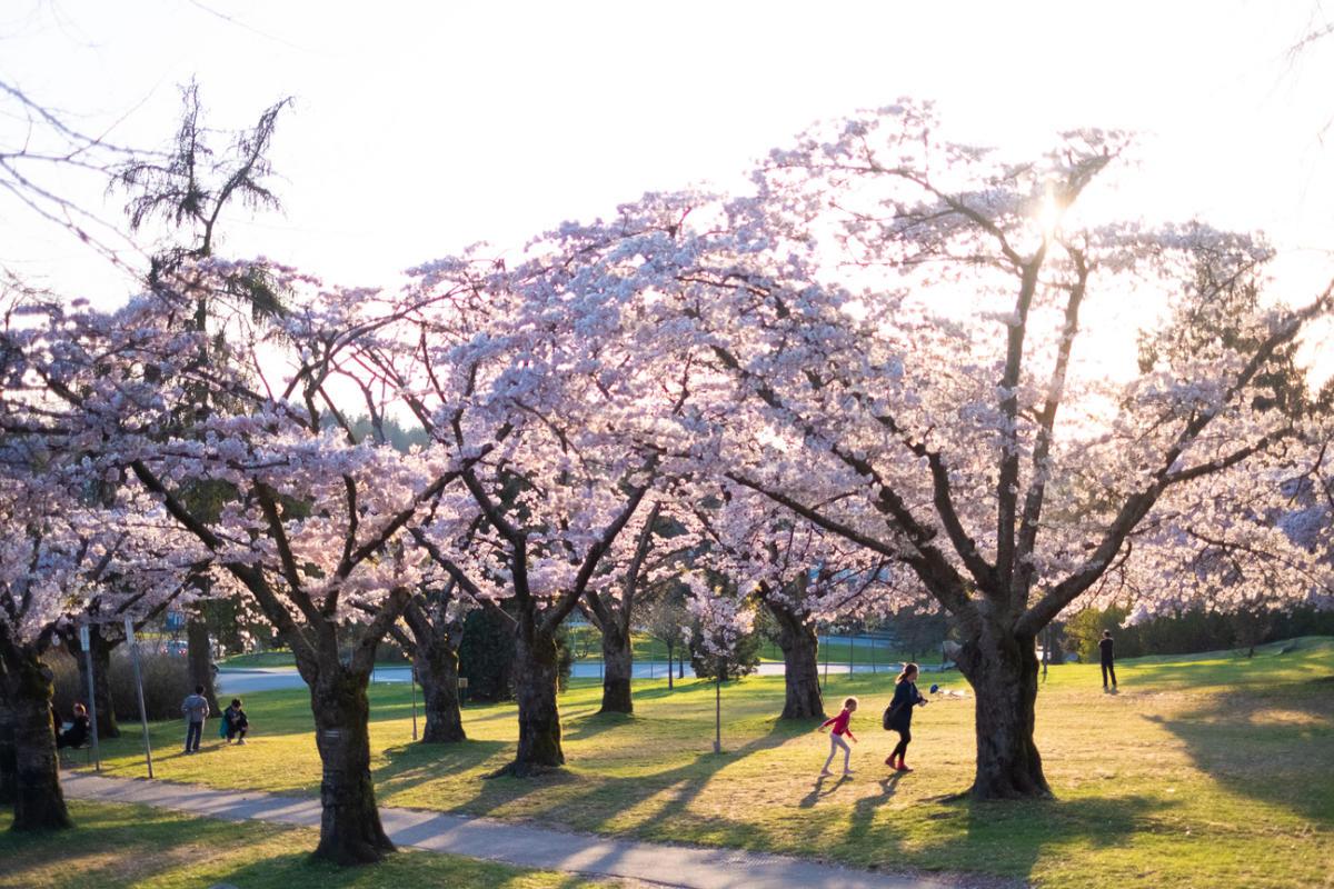 Cherry blossoms at Queen Elizabeth Park