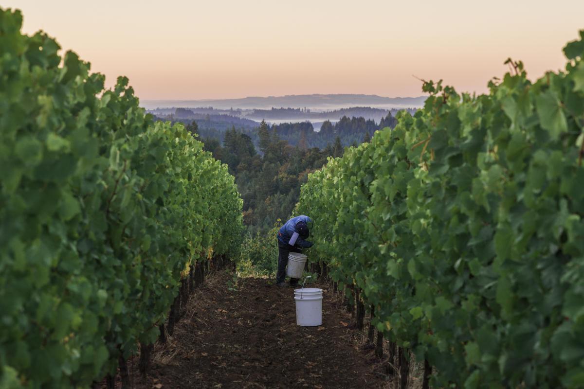Fairsing Vineyard at harvest