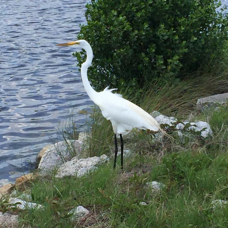 Crane at Huntington Beach State Park