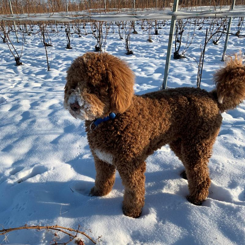 Lucy Bowers Harbor Vineyard Dog