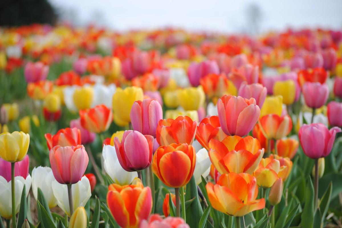 Tulips Burnside Farms