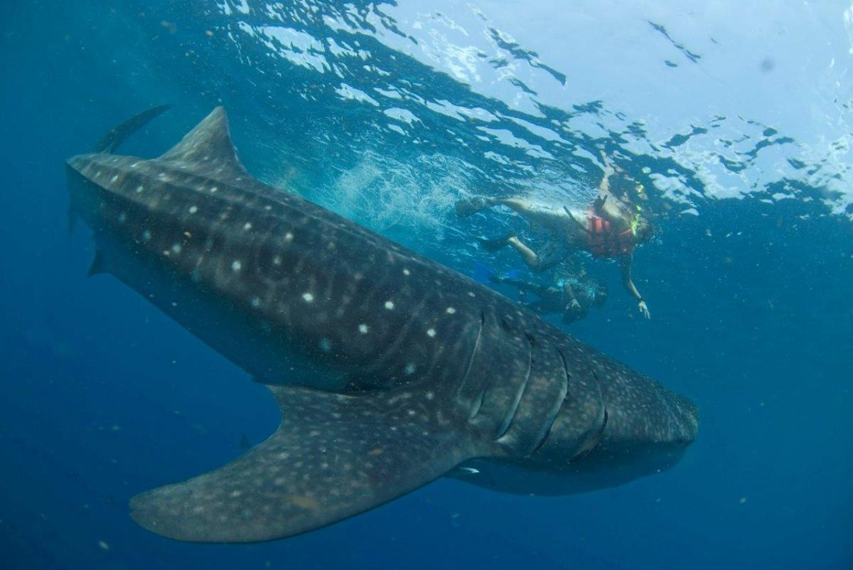Swimming with Whale Sharks in Holbox