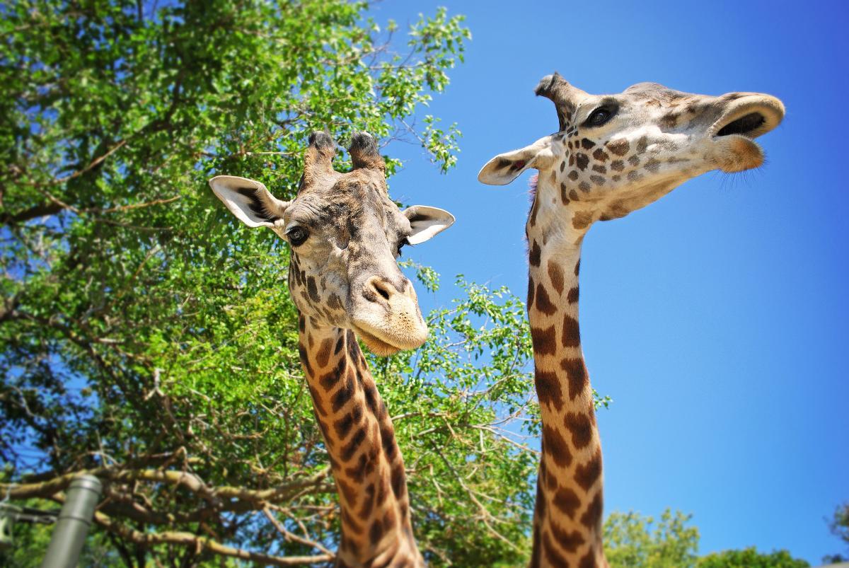 Racine Zoo Giraffe