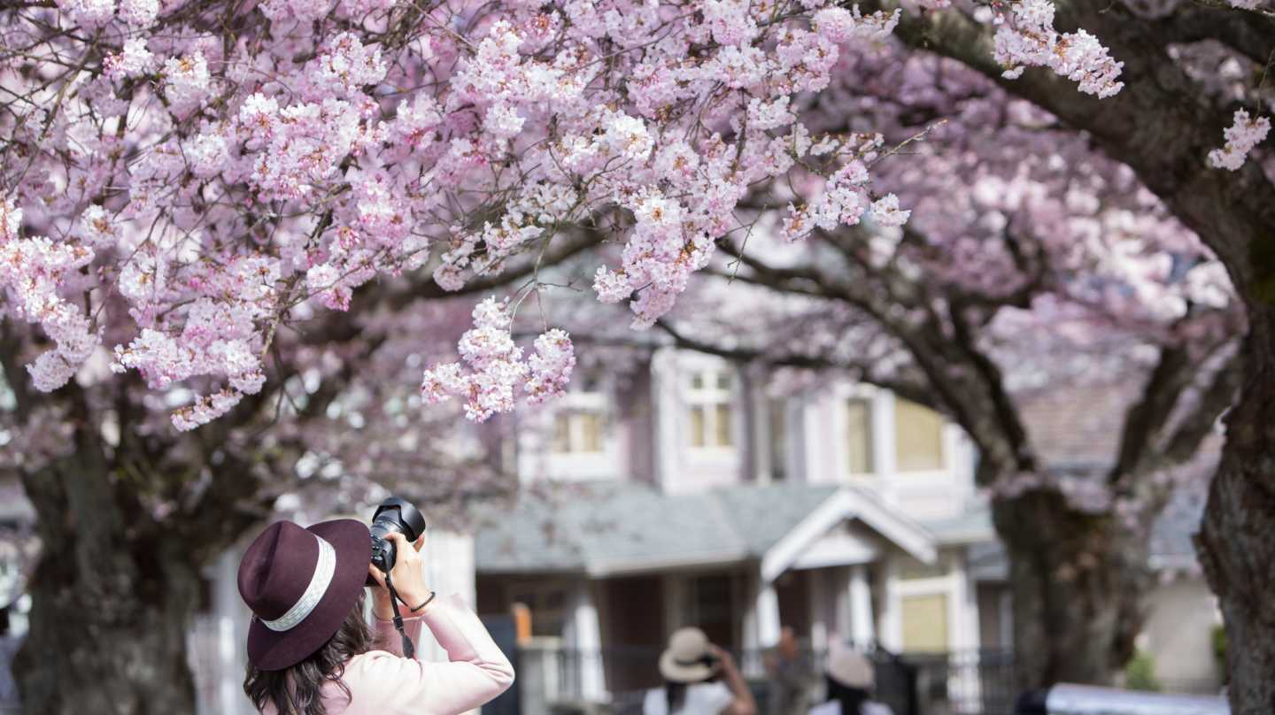 A woman photographs cherry blossoms