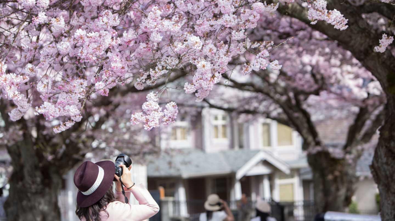 A woman photographs cherry blossoms