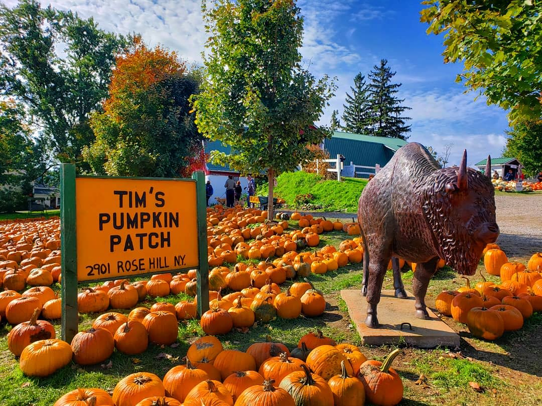 A bronze bill statue amongst row of pumpkins and an orange sign that says Tim's Pumpkin Patch with trees in the background and blue skies