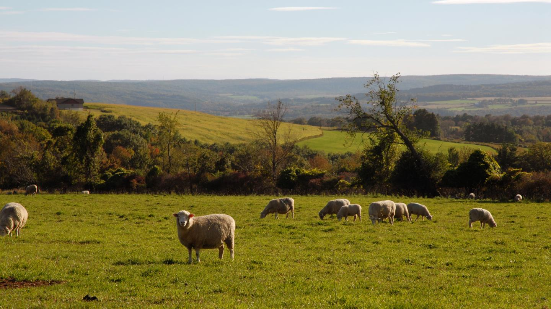 Sheep Farm Near Jasper