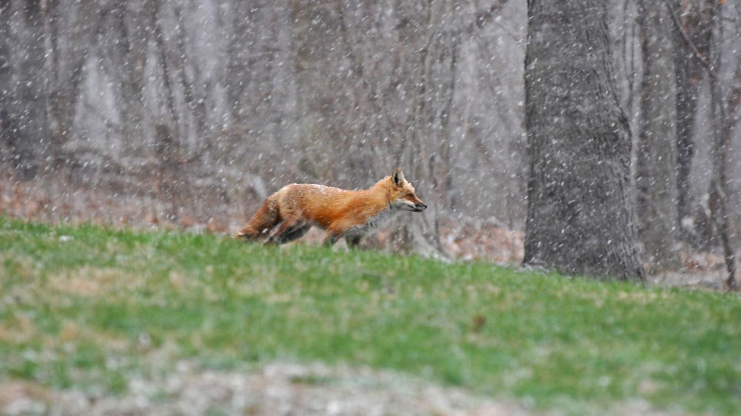 Outdoors Red Fox Wildlife In Snow