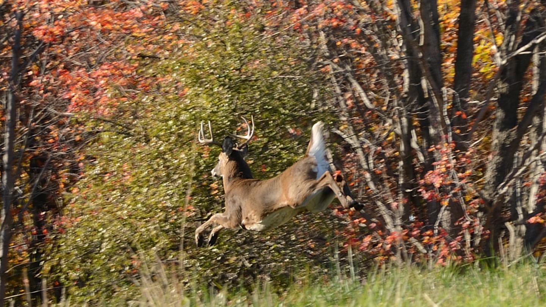 Deer Leaping Hunting Wildlife
