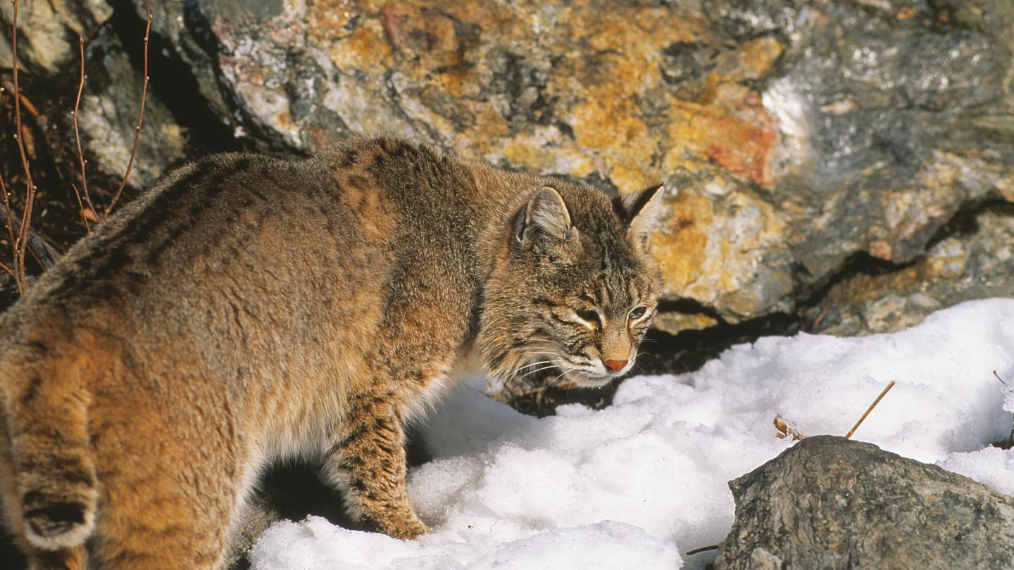 Bobcat Furbear Hunting Trapping Wildlife
