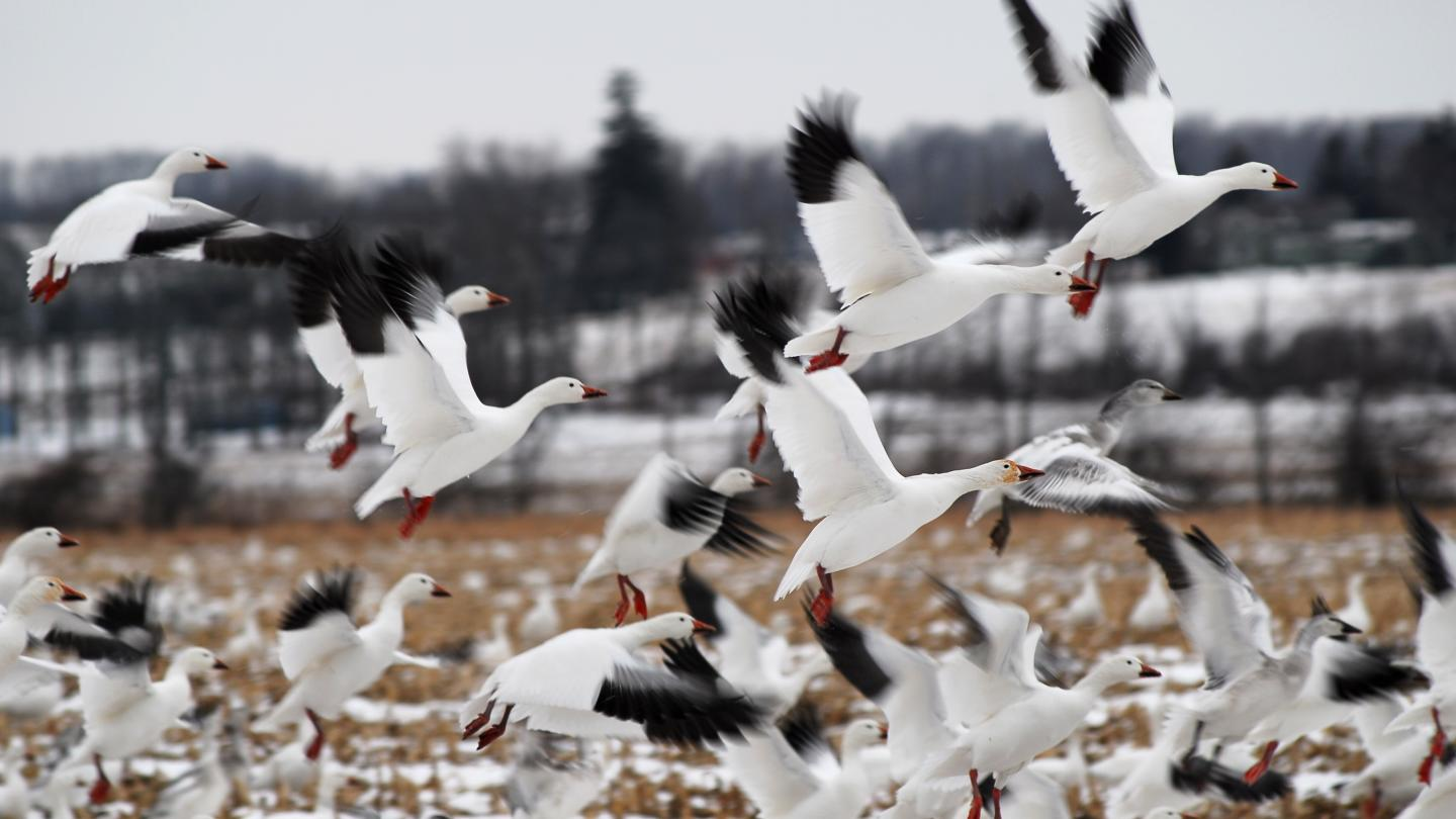 Waterfowl Snow Geese Hunting Wildlife