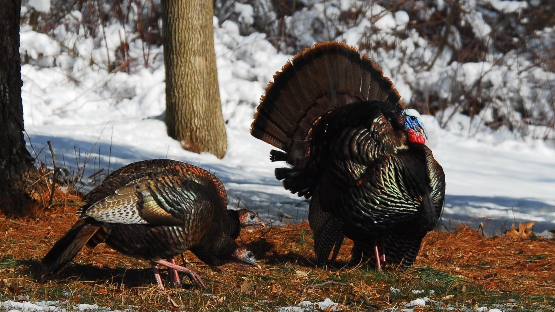 Wild Turkeys Hunting Wildlife