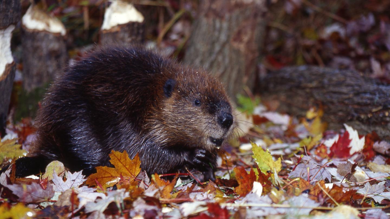 Beaver in Autum Wildlife