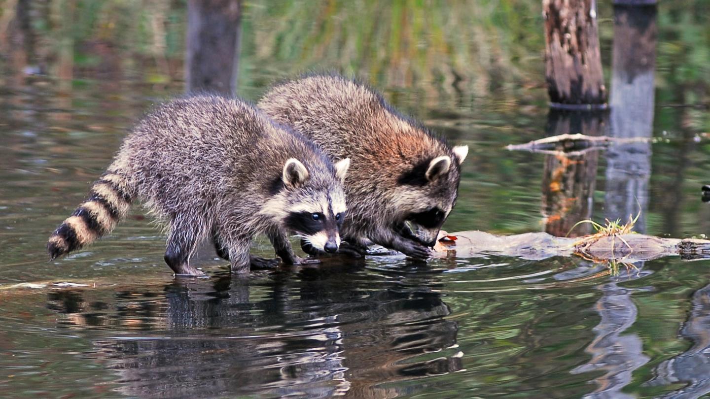 Raccoons in the wild wildlife