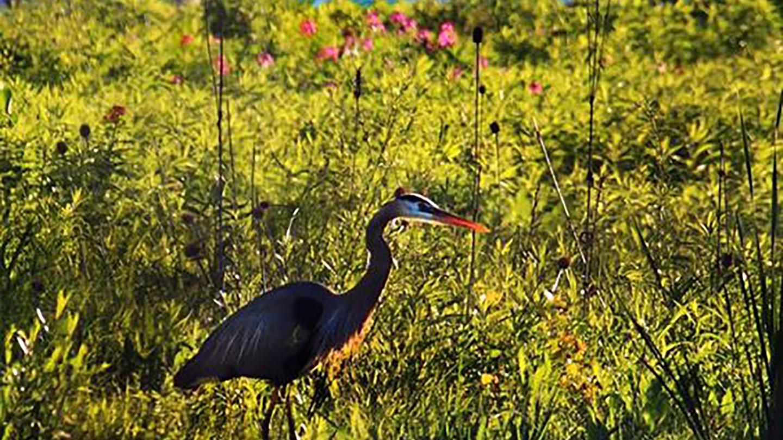 Heron Water Wildlife