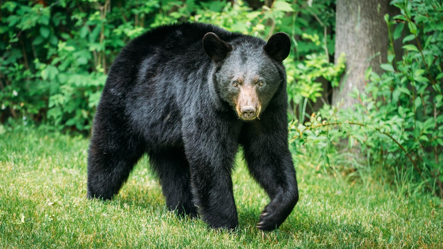 Black Bear Near Corning