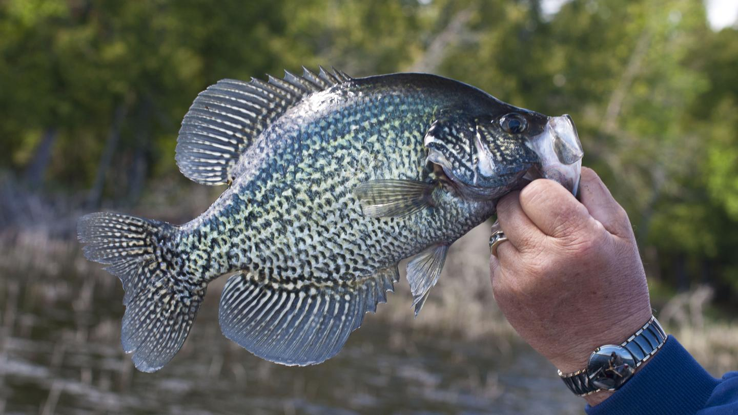 Black Crappie Fishing