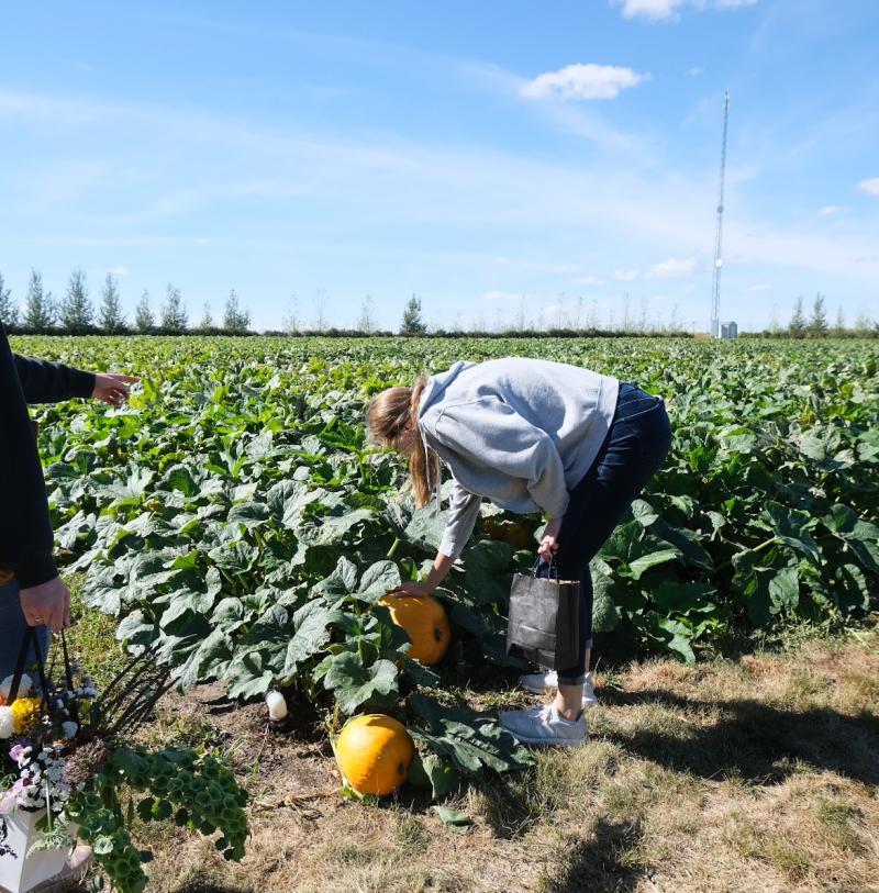 Women Picking Pumpkins at Black Fox Farm in Saskatoon