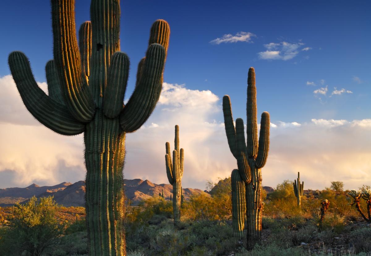 Saguaros in the Desert