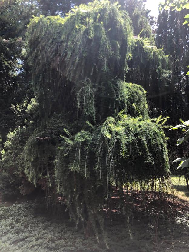 Brincka Cross Gardens Michigan City weeping trees