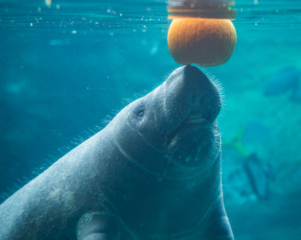 Manatee with pumpkin during Boo at the Zoo