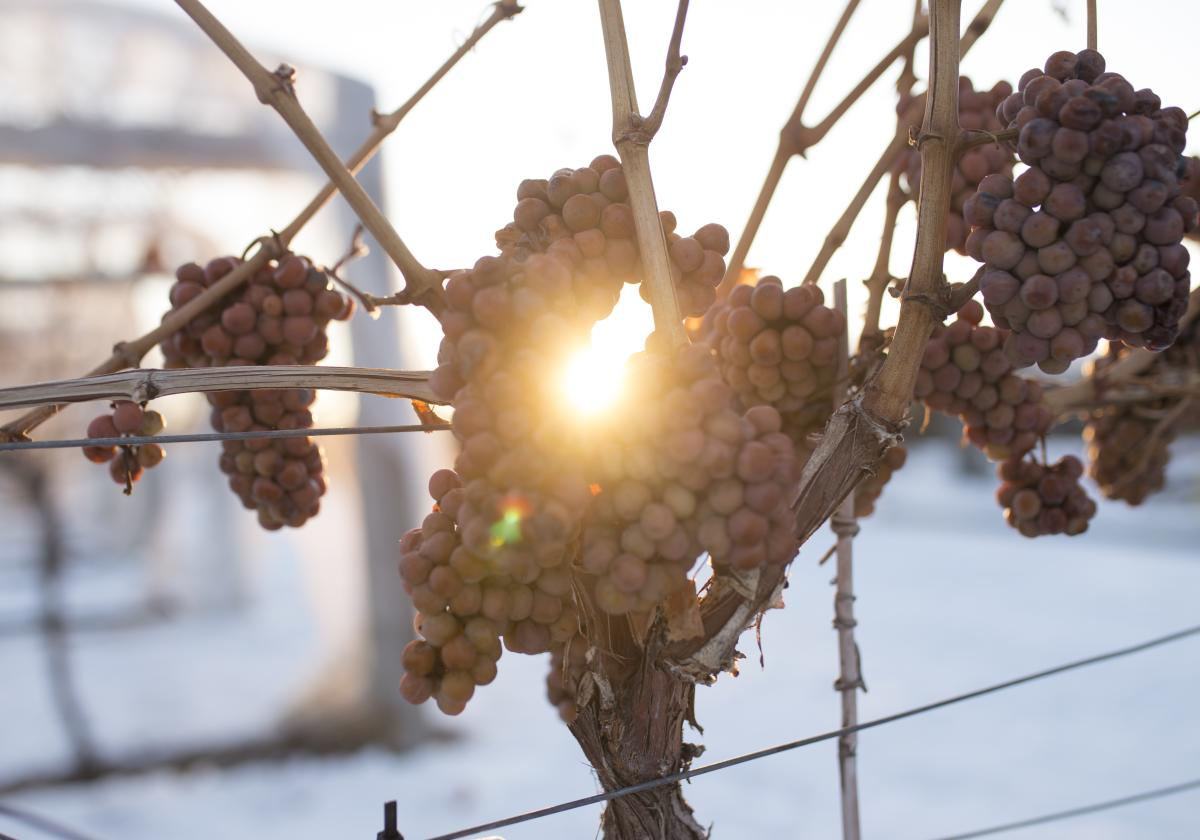Icewine Grapes at Grizzli