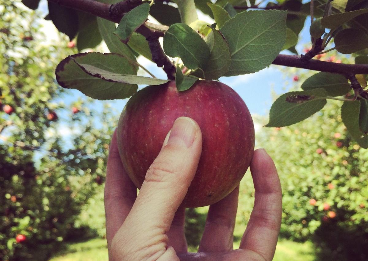 Pick an apple at Sekapp Orchard in Rochester, MN