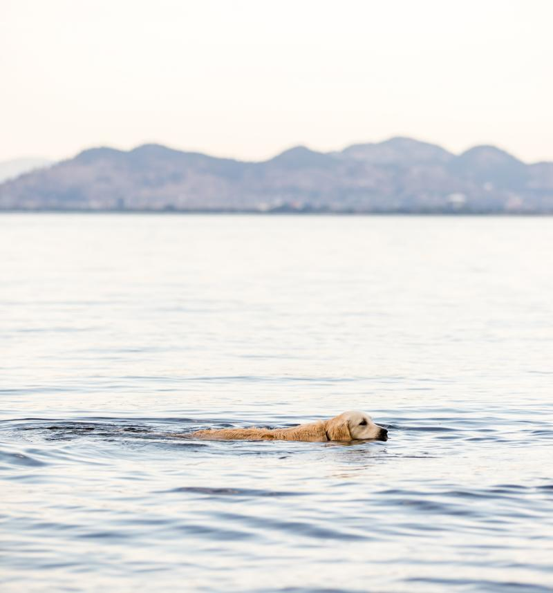 A dog swims in the water at Cedar Creek Dog Beach in Kelowna, BC