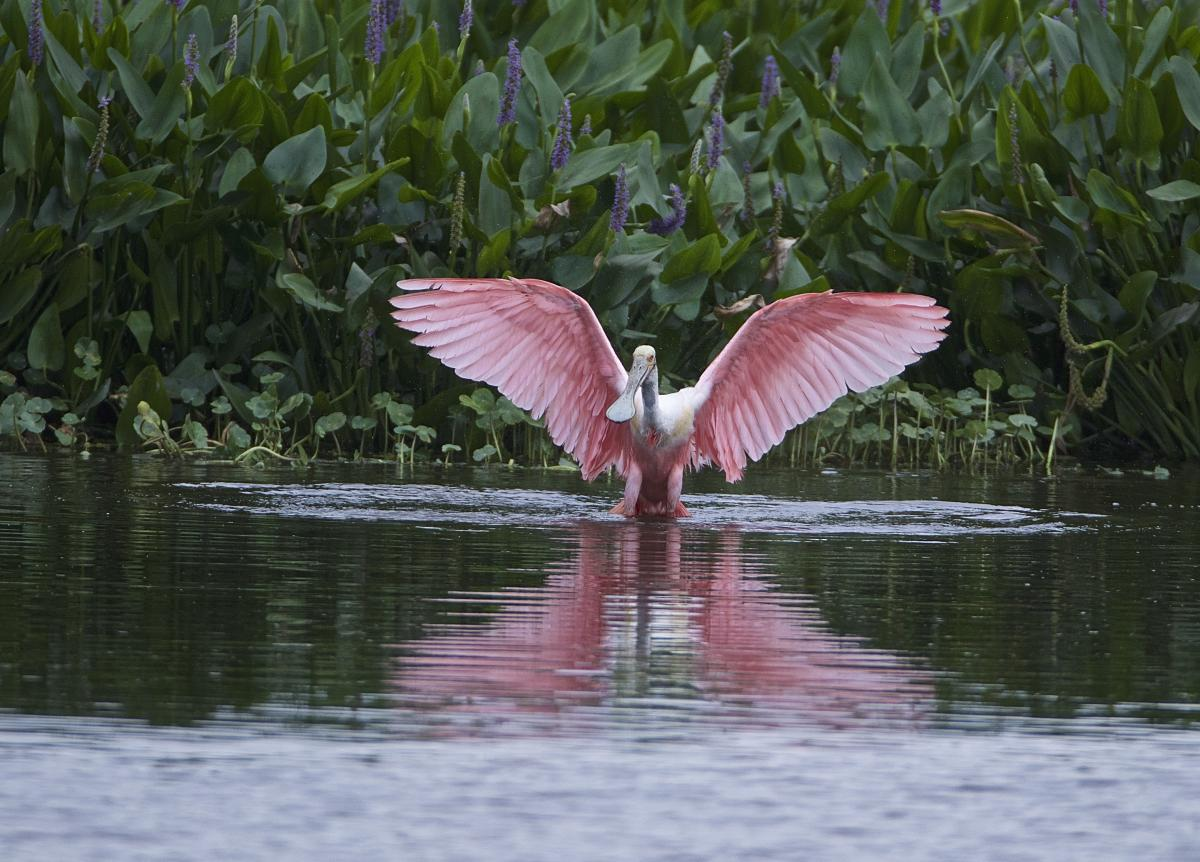 Roseate Spoonbill at Cattail Marsh in Beaumont, TX.