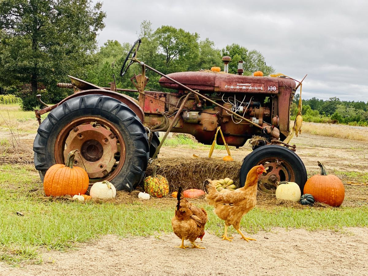Old tractor decorated with pumpkins at a farm during the fall season in Beaumont